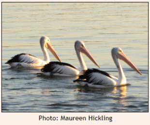 Three Pelicans swimming